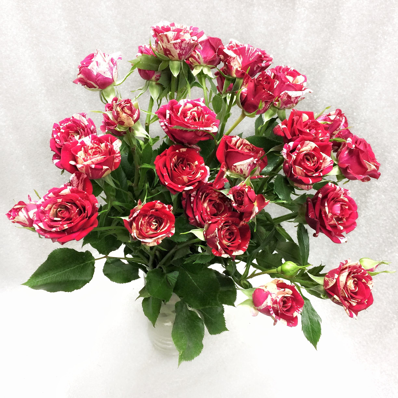 фотографии как выглядят кустовые розы фото ничем отличается